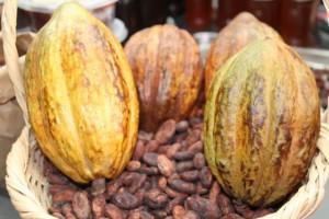 Cacao Piura